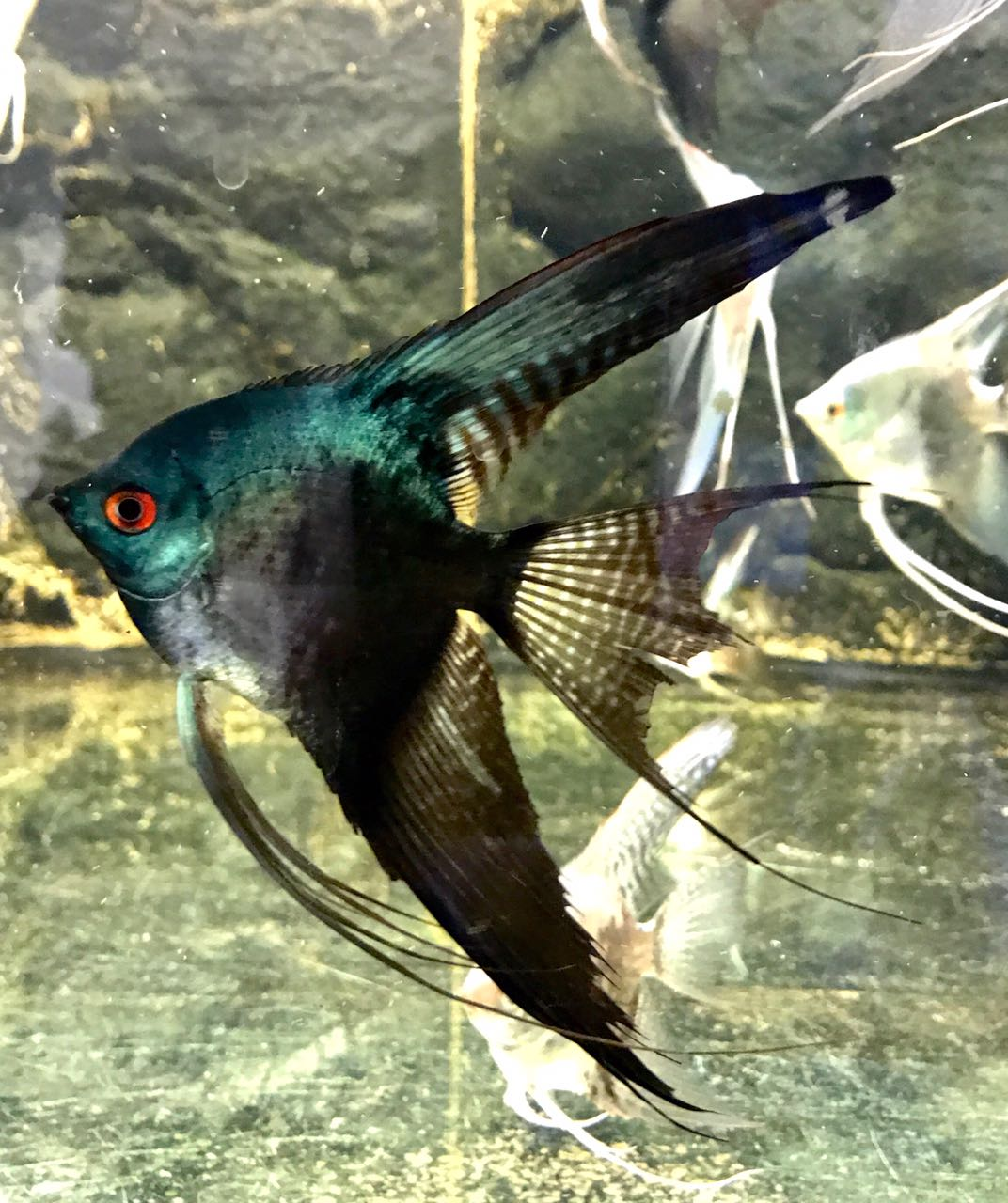 "Pterophyllum scalare ""Black Pinoy Veiltail"""